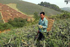 Giá 1kg dứa rẻ hơn cốc trà đá, nông dân Lào Cai thu vụ dứa 'đắng'