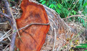 Các lực lượng sốt sắng vào cuộc vụ mở đường phá rừng ở Kon Tum