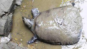 'Vợ chồng' rùa vô sinh ở TQ và 13 năm cứu loài rùa Hồ Gươm thất bại