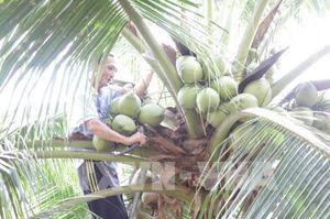 Giá dừa xiêm xanh Bến Tre tăng mạnh