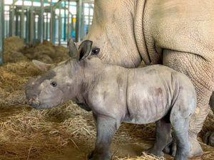 Vinpearl Safari Phú Quốc- 17 ngày đón 2 cá thể tê giác quý chào đời