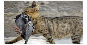 Mèo hoang đe dọa, chính phủ Úc phải ra tay thế này...