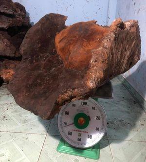 Choáng cây nấm chò 'khủng' 70kg trong rừng Quảng Nam