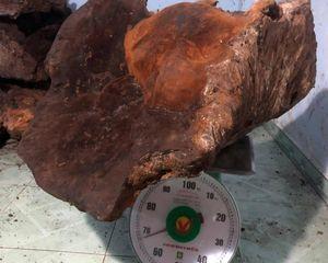 Nấm chò 'khủng' 67 kg được trả giá 60 triệu