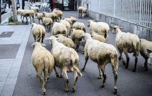 Trường tiểu học tại Pháp gây xôn xao khi tuyển hàng loạt 'học sinh cừu'