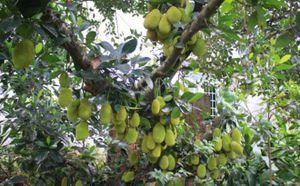 Cận cảnh cây mít Tố Tây ra quả từ gốc tới ngọn, một chùm gần 30 quả
