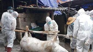 Bắc Kạn liên tiếp xuất hiện thêm các ổ dịch tả lợn Châu Phi