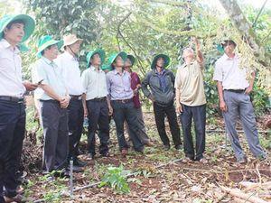 Gia Lai: Vườn cà phê, hồ tiêu xen canh thu lãi cao