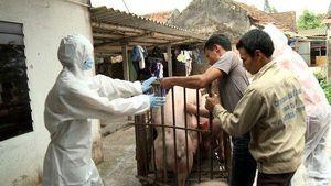Dịch tả lợn châu Phi diễn biến nóng, đề xuất cả lực lượng vũ trang cùng dập dịch