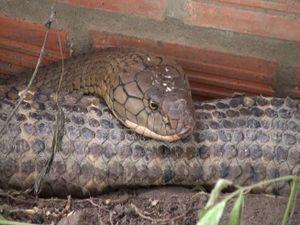 2 con rắn khủng 60 kg là loài rắn gì?