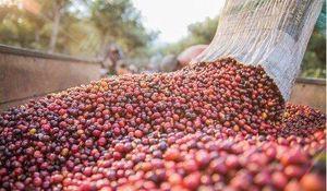 Giá cà phê hôm nay 19/5: Ba ngày cuối tuần giá cà phê mất gần 2.000