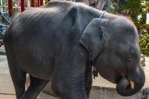 Voi con biểu diễn ở Thái Lan chết vì gãy chân, nhiễm trùng tiêu hóa