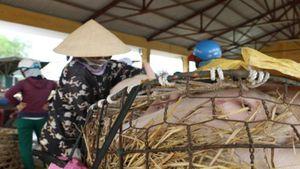 Quảng Nam phát hiện thêm ổ dịch tả lợn châu Phi