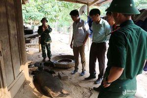 Thông tin thêm về ổ dịch tả lợn châu Phi ở Kỳ Sơn khiến hàng trăm con lợn đen bị chết