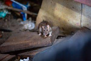 New York, Chicago và Washington sắp thành nơi 'của chuột và người'