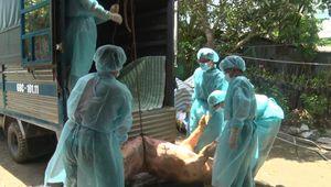Dịch tả heo châu Phi: 'Triệt nọc' ổ đầu tiên tại Kiên Giang