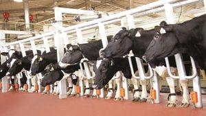 Sữa TH đưa công nghệ cao trong chăn nuôi bò sữa đến khắp mọi miền