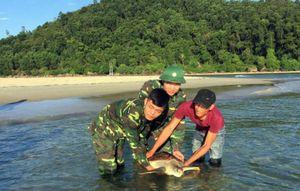 Huế: Thả cá thể rùa 20kg nằm trong Sách đỏ về với biển