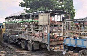Xe tải chở lợn 'dính' dịch tả châu Phi di chuyển gần nghìn cây số