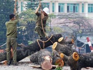Cộng đồng đề nghị khẩn cấp dừng chặt, di dời gần 2.000 cây xanh ở Hà Nội