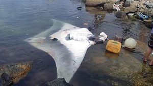 Quảng Ngãi: Ngư dân Lý Sơn bắt được cá đuối 'khủng' nặng 600kg
