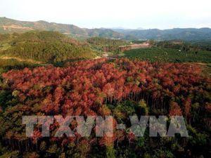 Phát hiện kịp thời, cứu được hàng trăm cây thông bị hạ độc tại Lâm Đồng