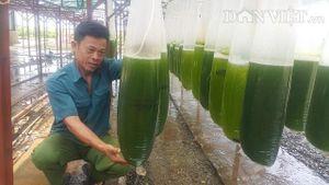 Chuyện lạ Thái Bình: Nuôi thứ nước xanh lè mà 'rót' ra hàng tỷ đồng