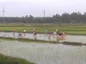 Đẹp từng cen-ti-met: 30 nữ công nhân lội ruộng cấy lúa giúp cụ U70