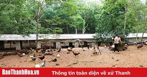 Hiệu quả mô hình chăn nuôi gà an toàn thả đồi ở thôn Tân Lập