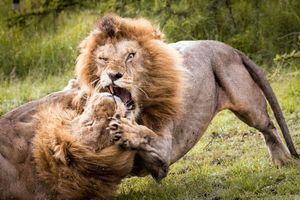 Trận chiến khốc liệt tranh giành quyền thống trị của đôi sư tử đực