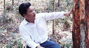 Cần ngăn chặn hành vi phá hoại rừng thông đặc dụng