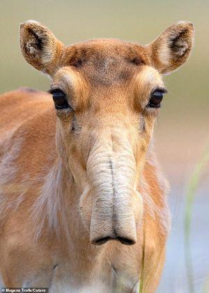 Hình ảnh hiếm hoi về loài linh dương từ kỷ băng hà