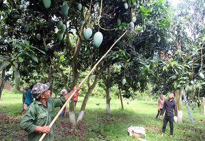 Sơn La - vùng trồng cây ăn quả lớn nhất miền bắc