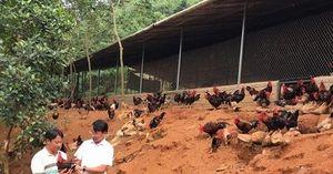 Mô hình hợp tác xã liên kết nuôi gà bền vững
