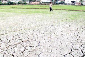 Lúa hè thu thiếu nước