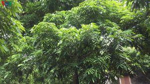 Nhiều nhà vườn ở 'thủ phủ' nhãn lồng Hưng Yên mất trắng