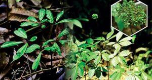 Lá sâm Ngọc Linh được thu mua tại vườn từ 9 - 10 triệu đồng/kg