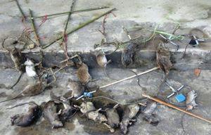 Hạn chế diệt chuột bằng bẫy điện