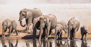 Chấm dứt xuất khẩu voi châu Phi hoang dã cho các cơ sở nuôi nhốt động vật