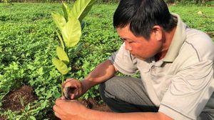 Vấn nạn xâm phạm bản quyền giống trái cây: Đừng để nước đến chân mới nhảy