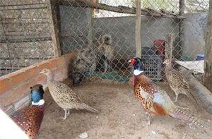 Cần Thơ : Người nuôi được cả 3 loài trĩ xanh, đỏ, trắng