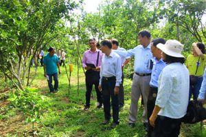 Lai Vung khôi phục lại vườn cây có múi