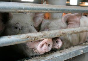 Trung Quốc cấm nhập lợn Hàn Quốc do lo ngại bệnh tả lợn châu Phi