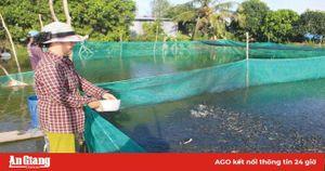 Nông dân nuôi cá lóc, cá sặc bổi 'thắng đậm'