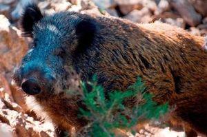 Bi kịch con bắn chết cha khi đi săn lợn rừng tại Italy