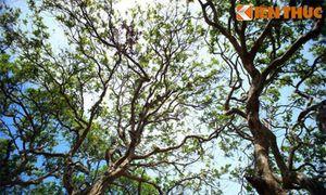 Tận mục cây nhãn trăm tuổi độc đáo nhất Việt Nam