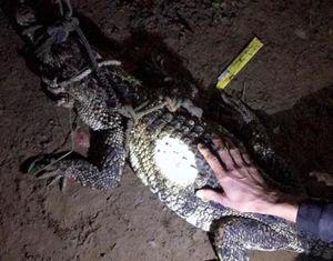 Cá sấu hoang dã bò vào nhà dân tại Đồng Nai