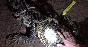 Cá sấu hoang dã sông Đồng Nai bò vào nhà người dân