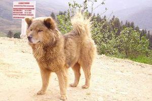 Chó Bắc Hà, quốc khuyển số 1 Việt Nam có gì đặc biệt?