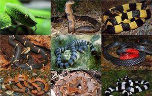 Top 10 loài rắn đẹp nhưng nguy hiểm ở Việt Nam